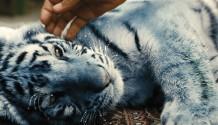 FILM: Modrý tygr byl vybrán na prestižní světové festivaly!